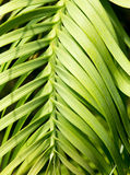 Wollemi pine living fossil plant Royalty Free Stock Photography