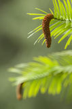 Wollemi pine tree Royalty Free Stock Photos