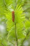 Wollemi pine tree Royalty Free Stock Photo