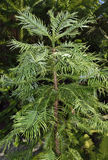 Wollemi Pine Royalty Free Stock Photo
