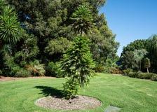 Wollemi pine or wollemia nobilis a coniferous tree in Adelaide botanic gardens SA Australia. Wollemi pine or wollemia nobilis a critically endangered coniferous stock photo