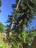 Wollemi sörjer trädet, Australien Arkivfoto
