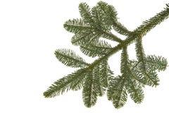 Wollemia nobilis tree twig on white Royalty Free Stock Photography