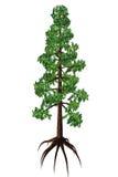 Wollemia nobilis Tree Stock Photos