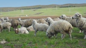 Wollen schapenreis door de bergen in de zomer Portretten van dieren stock videobeelden