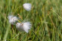 Wollgras im Sumpf von Finnland Lizenzfreies Stockbild