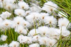 Wollgras im Sumpf von Finnland Stockfotografie