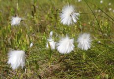 Wollgrassumpf Schließen Sie herauf Wollgras, flacher DOF stockfotografie
