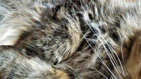 Wollhaare des flaumigen sibirischen Katzenabschlusses oben lizenzfreies stockbild