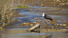 Wollhalsstorchvogel in Nepal Lizenzfreie Stockfotografie