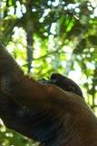 Wollige aap die omhoog in de hemel kijken royalty-vrije stock foto's