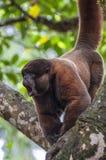 Wollige (chorongo) aap in Amazonië stock afbeelding