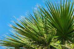 Wollige grüne Palmen Stockbilder