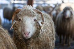 Wollige Schafe Lizenzfreies Stockfoto