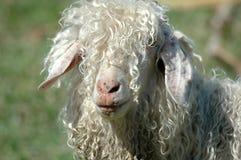 Wollige Schafe Stockbild