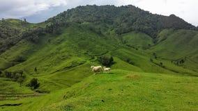 Wollige Schafe auf das Rollen von grünen Hügeln Lizenzfreie Stockfotos