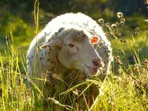 Wollige Schafe auf einer Wiese stockfotografie