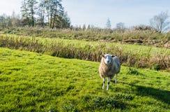 Wollige Schafe, die im niedrigen Nachmittagslicht stehen Lizenzfreies Stockbild