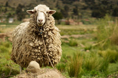 Wollige schapen in platteland Royalty-vrije Stock Fotografie