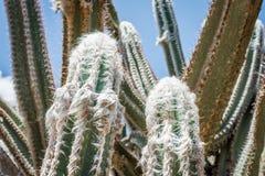 Wollige Toortscactus royalty-vrije stock foto's