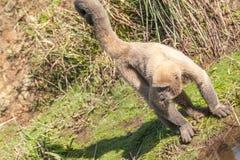 Wolliger Affe im Amazonas-Gebiet Lizenzfreie Stockfotos