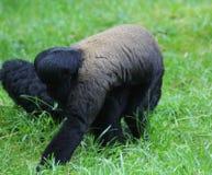 Wolliger Affe im Baum Lizenzfreie Stockfotografie