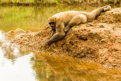 Wolliger Affe im wilden Stockfotografie