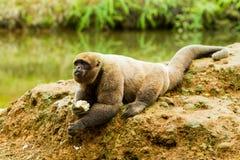 Wolliger Affe im wilden Lizenzfreies Stockbild