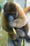 Wolliger Affe mit einem Blatt Lizenzfreies Stockfoto