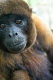 Wolliger Affe-Nahaufnahme Stockfotos