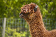 Wolliges Lama Stockbild