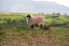 Wolliges schwarzes Gesicht der Schafe Stockfotos