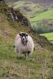 Wolliges schwarzes Gesicht der Schafe Lizenzfreies Stockbild