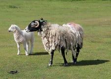 Wolliges schwarzes Gesicht des Schaf-Mutterschafs und des Lamms Stockbilder