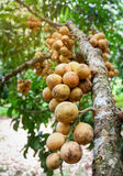 Wollongong-Frucht Stockbilder