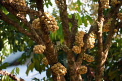 Wollongong fruit. Wollongong delicius fruit in Thailand Royalty Free Stock Photography