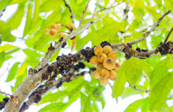 Wollongong Lansium domesticum Obrazy Stock