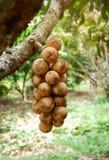 Wollongong på träd Arkivbild