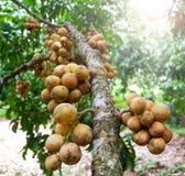 Wollongong på träd Royaltyfria Bilder