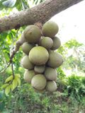 Wollongong popular fruit Royalty Free Stock Image