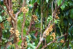 Wollongong  tropical fruit Stock Photography