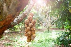 Wollongongfruit Stock Foto's