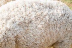 Wollschafkörperabschluß oben Stockbilder