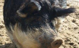 Wollschwein mit schmutziger Laus Lizenzfreie Stockbilder