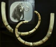 Wolly Mammutstoßzähne in einem rumänischen Museum Stockfotografie