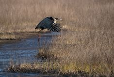 Woolly-necked stork Ciconia episcopus. A wolly necked stork bird taking off from a grey wetland habitat Royalty Free Stock Image