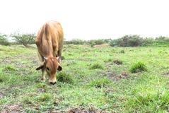 Wolna życie krowa Obraz Stock