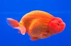 wolności goldfish pomarańcze Zdjęcia Stock