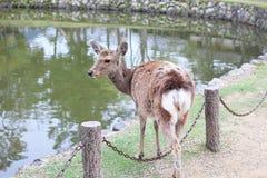 Wolno chodzić rogacza przed Todaiji świątynią Obrazy Royalty Free