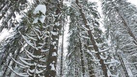 Wolno panning up na sosnach w halnym lesie zdjęcie wideo